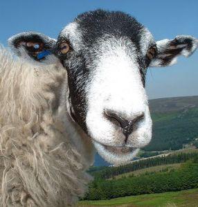 Roger B sheep face_crop